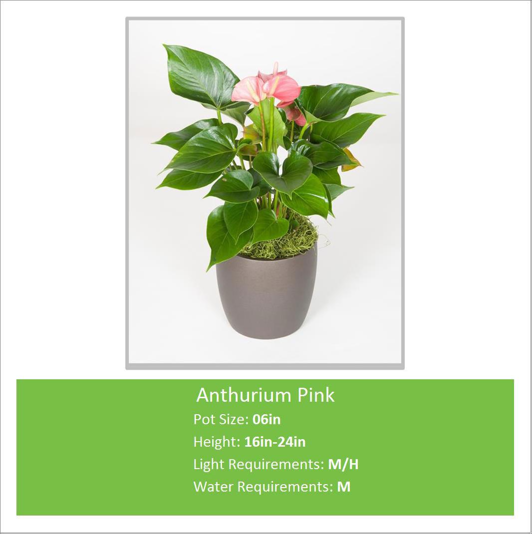 Anthurium_Pink_06inE