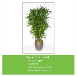 Rhapis_Excelsa_Palm_15galE-