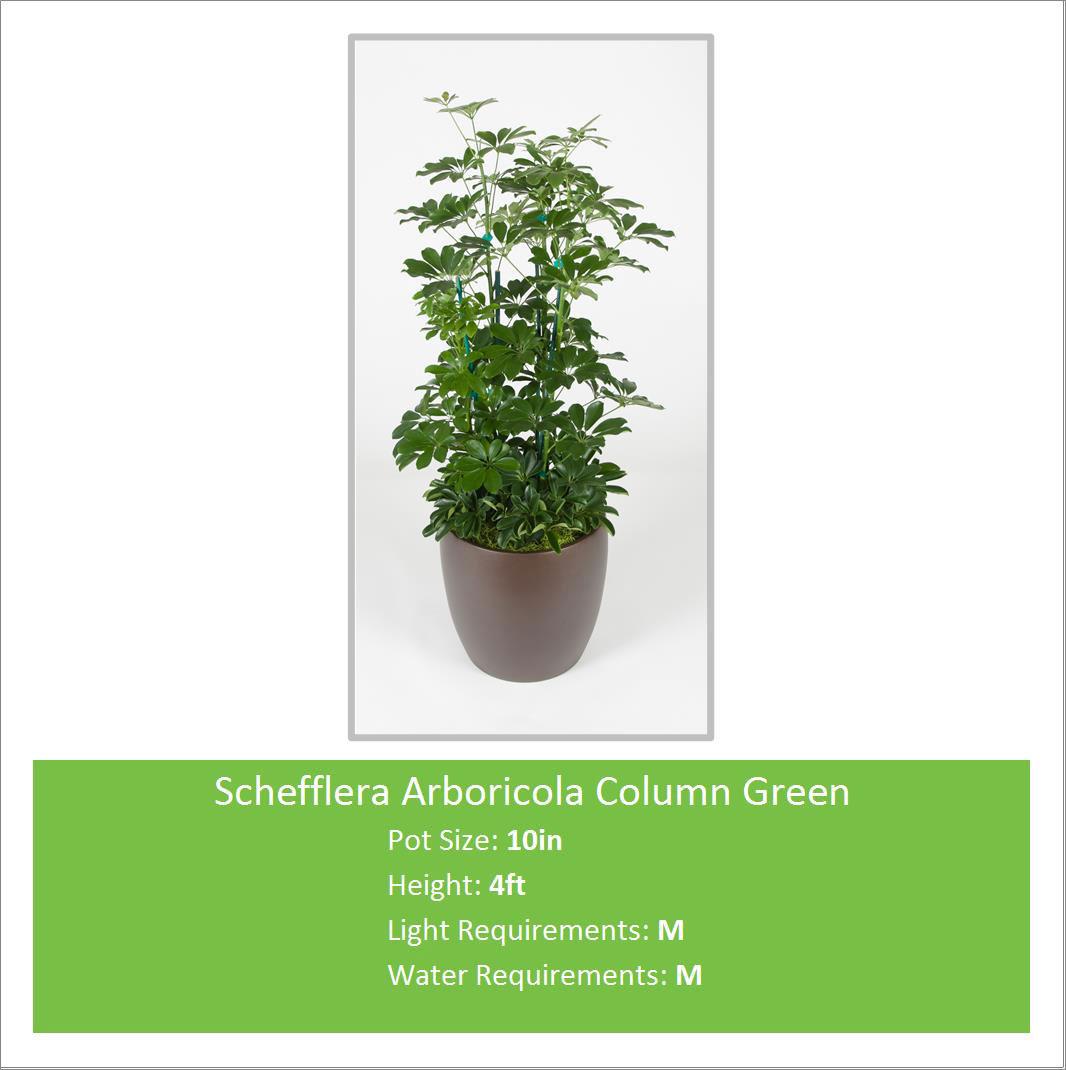 Schefflera_Arboricola_4_ft