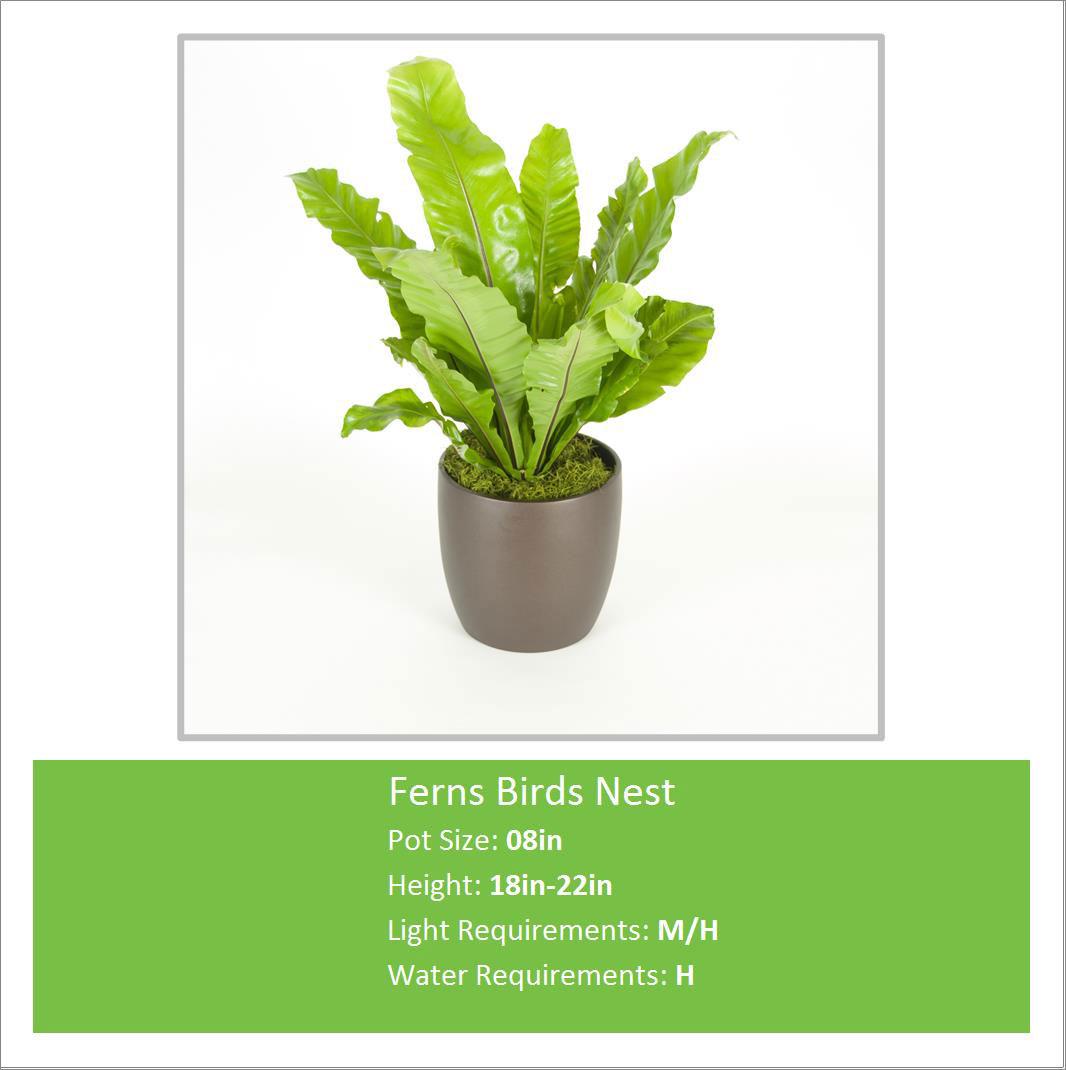 Ferns_Birds_Nest_08inE