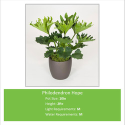 Philodendron_Hope_10inE
