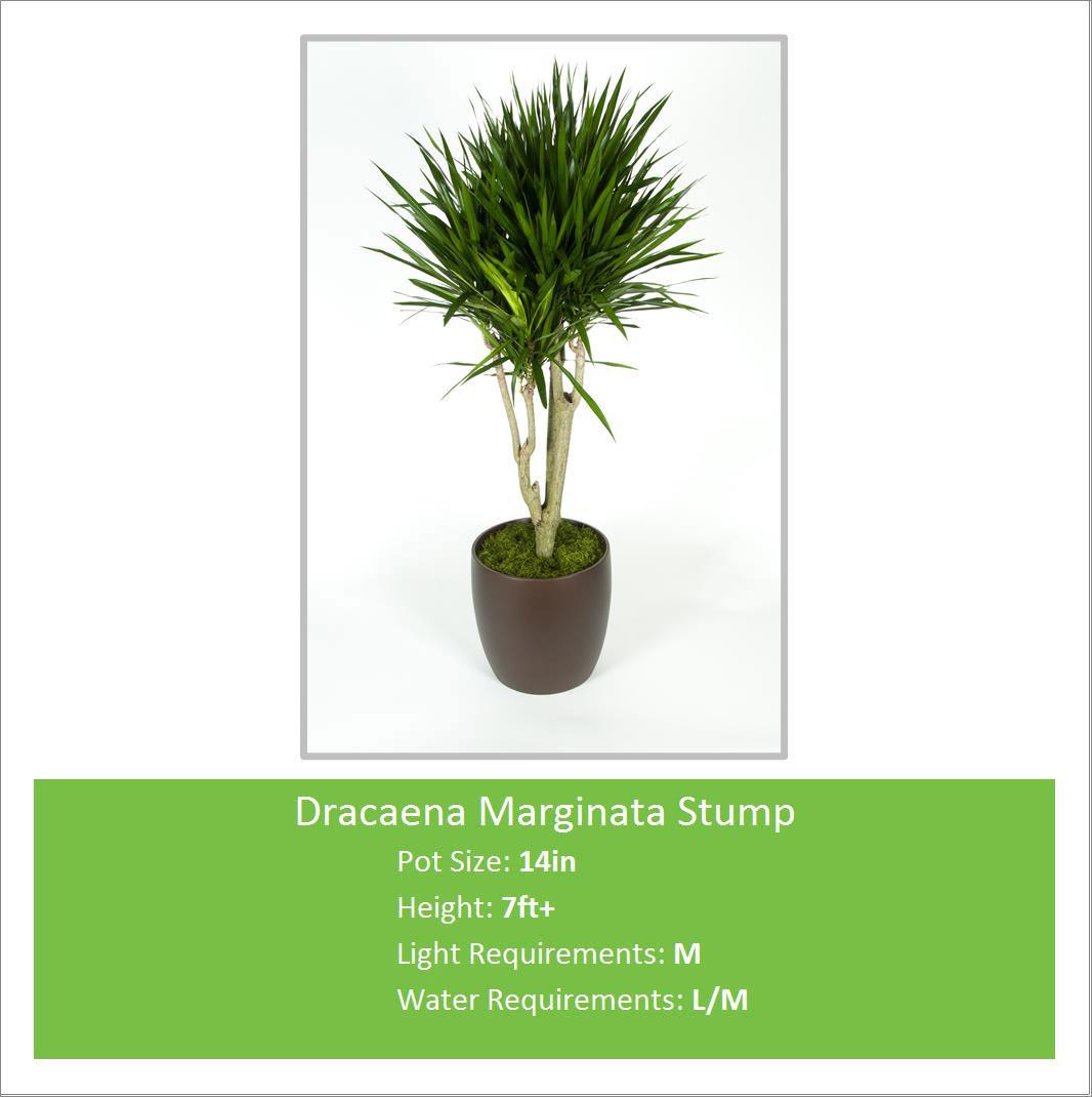 Dracaena_Marginata_Stump_14