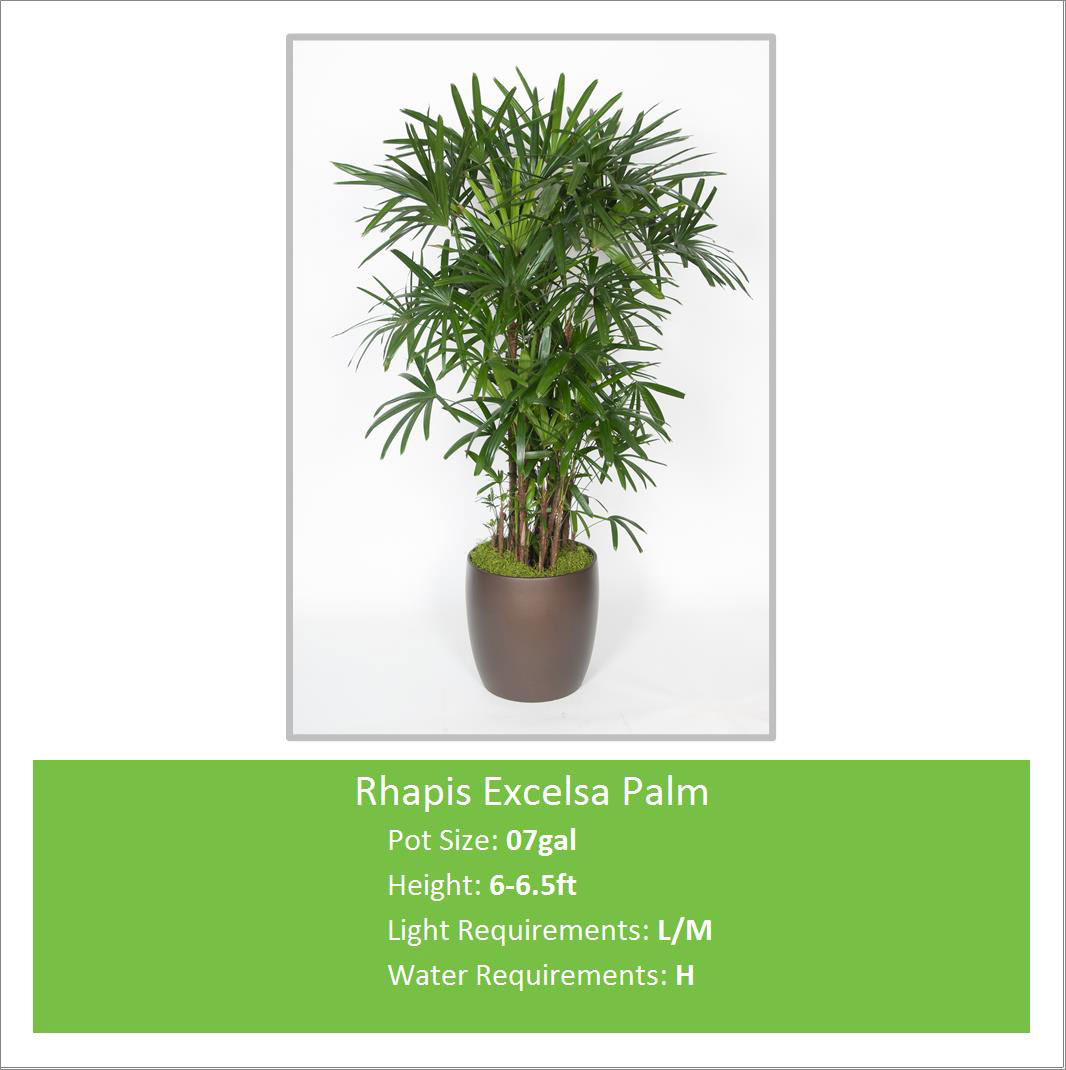 Rhapis_Excelsa_Palm_07galE-