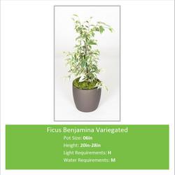 Ficus_Benjamina_Variegated_