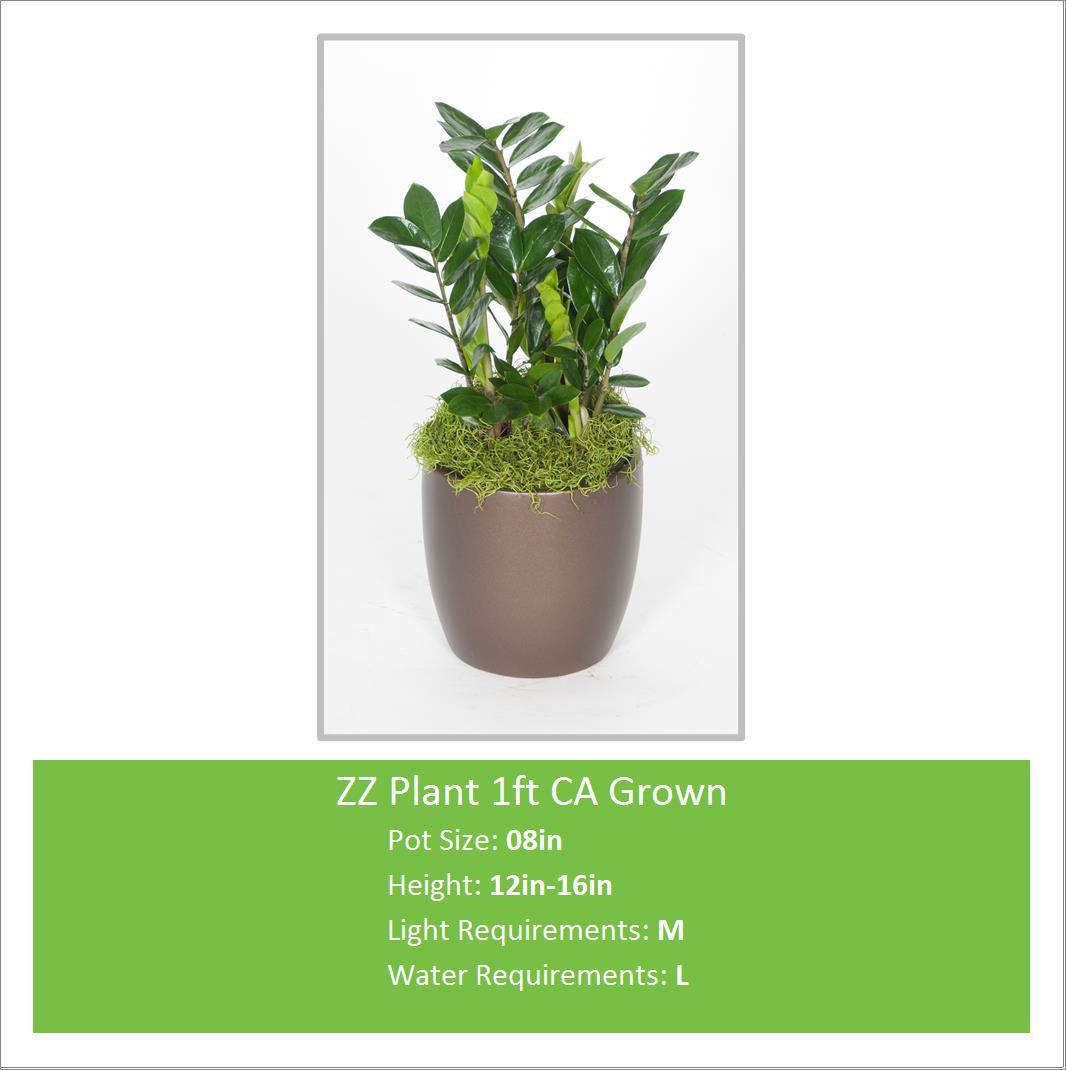 ZZ_Plant_1ft_CA_Grown_08inE