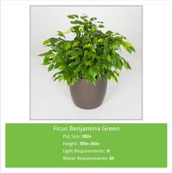 Ficus_Benjamina_Green_08inE