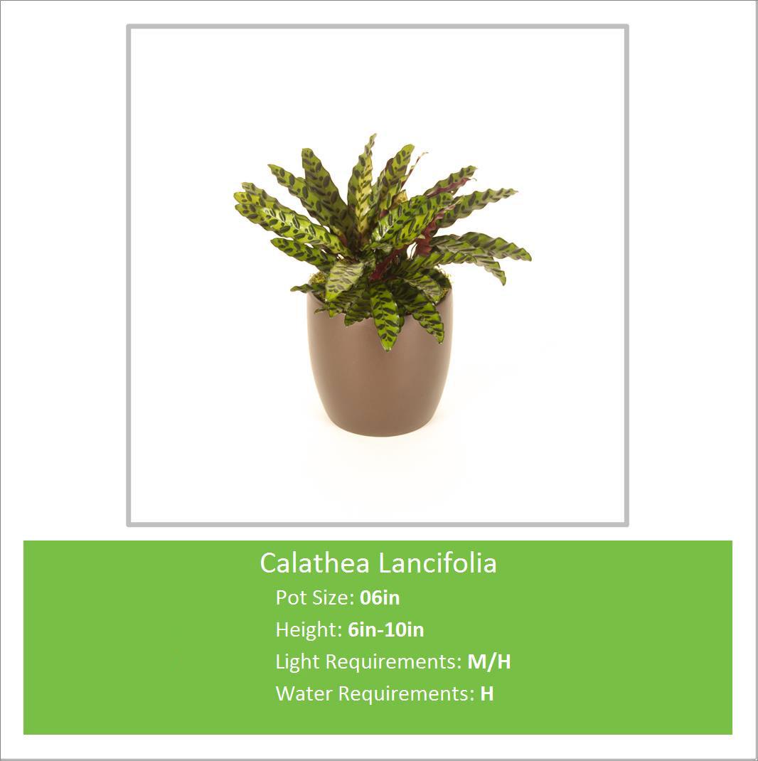 Calathea_Lancifolia_06inE