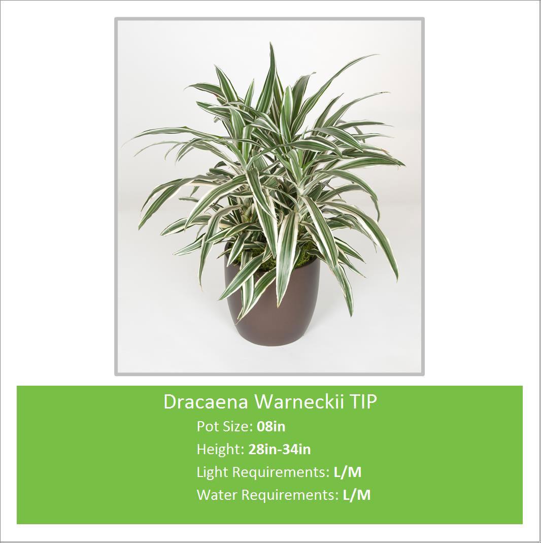 Dracaena_Warneckii_TIP_08in