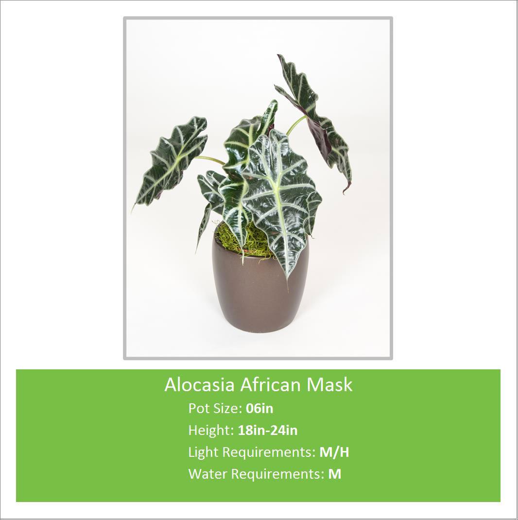 Alocasia_African_Mask_06inE
