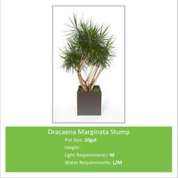 Dracaena_Marginata_Stump_20