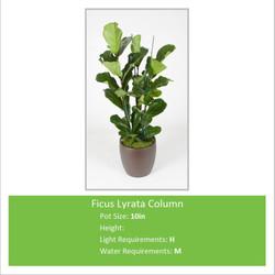 Ficus_Lyrata_Column_10inE