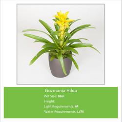 Guzmania_Hilda_06inE