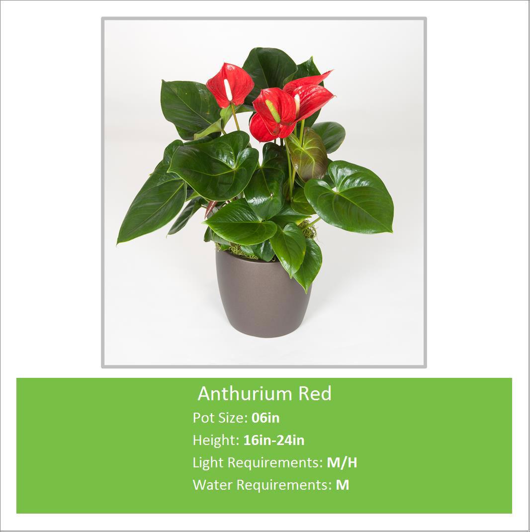 Anthurium_Red_06inE