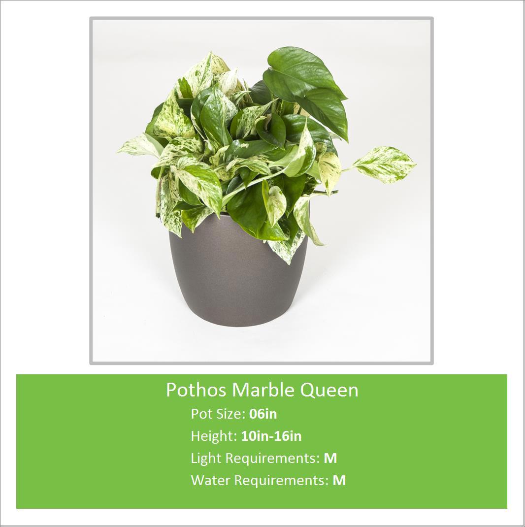 Pothos_Marble_Queen_06inE--
