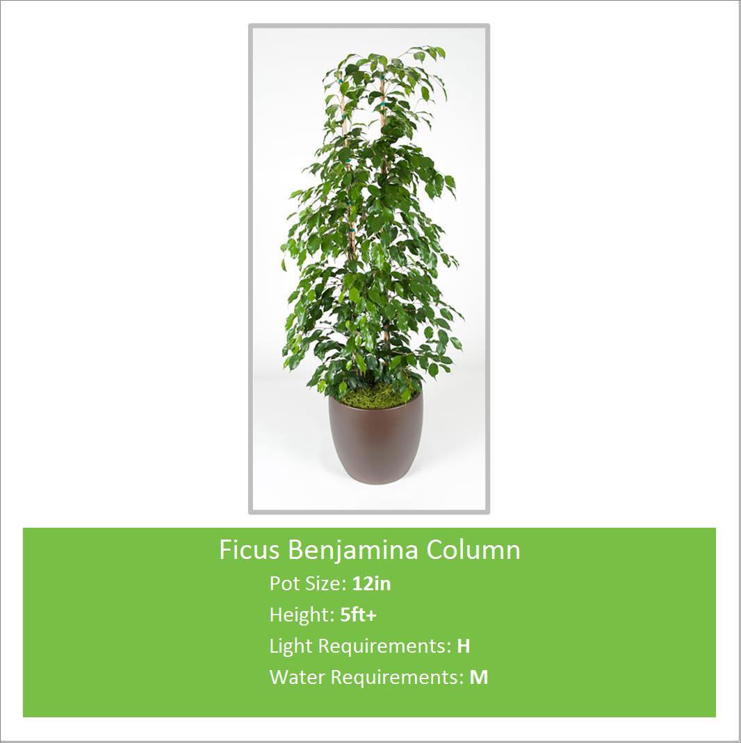Ficus_Benjamina_Column_12in