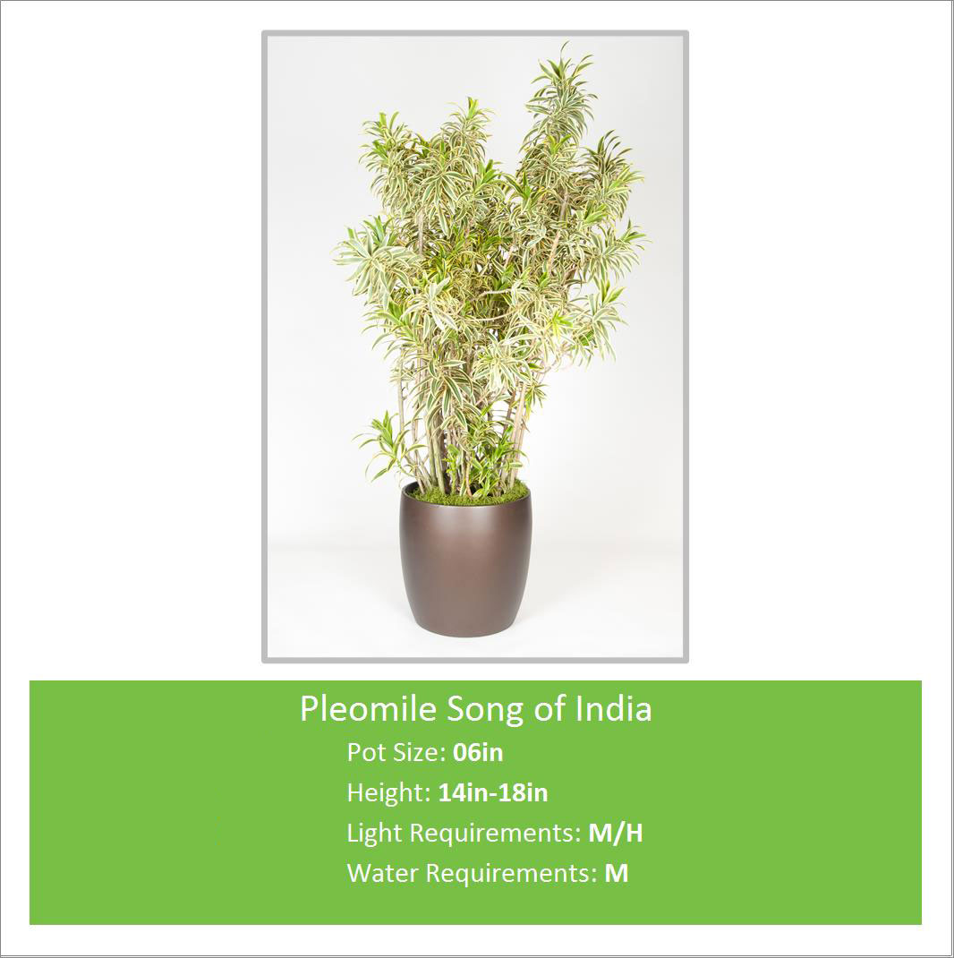 Pleomile_Song_of_India_06in