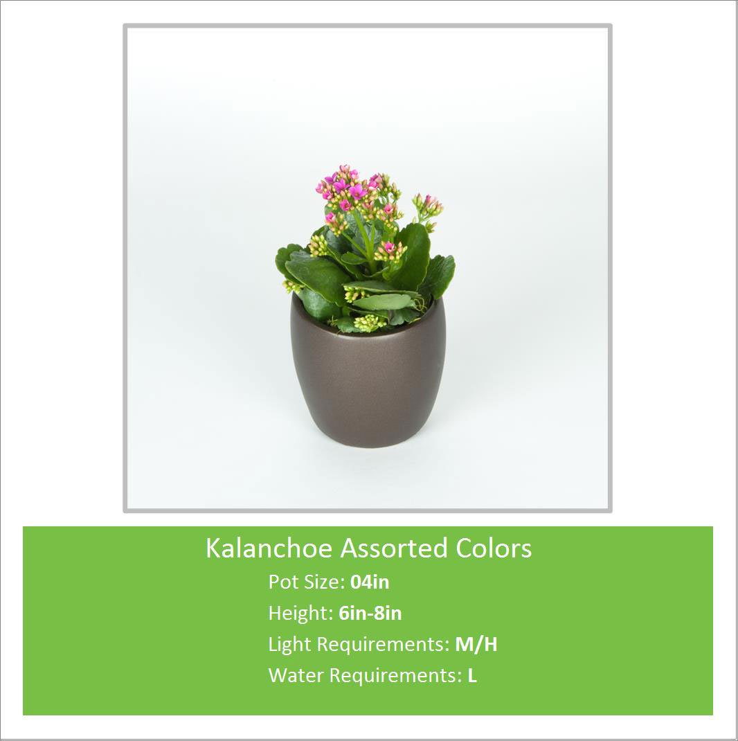 Kalanchoe_Assorted_Colors_0