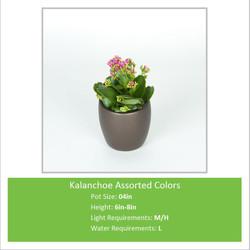 Kalanchoe_Assorted_Colors_0