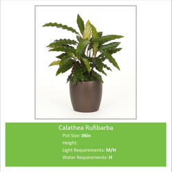 Calathea_Rufibarba_06inE