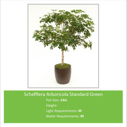 Schefflera_Arboricola_Stand