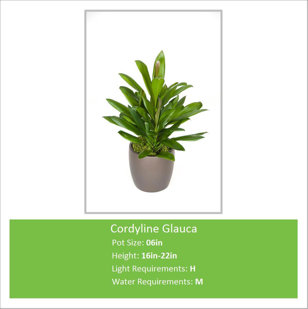 Cordyline_Glauca_06inE