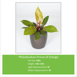 Philodendron_Prince_of_Oran