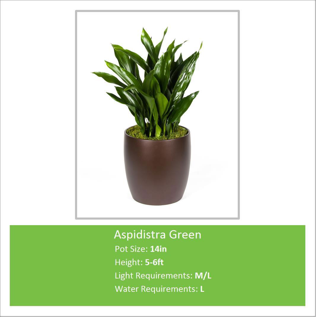 Aspidistra_Green_14inE