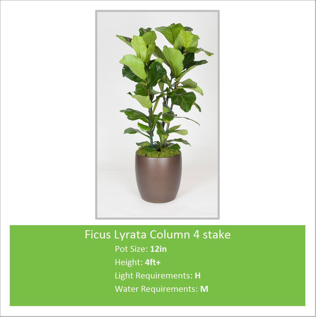 Ficus_Lyrata_Column_4_stake