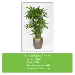 Rhapis_Excelsa_Palm_05galE-