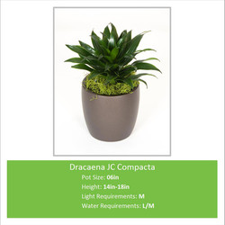 Dracaena_JC_Compacta_06inE