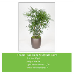 Rhapis_Humilis_or_Multifida