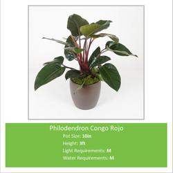 Philodendron_Congo_Rojo_10i