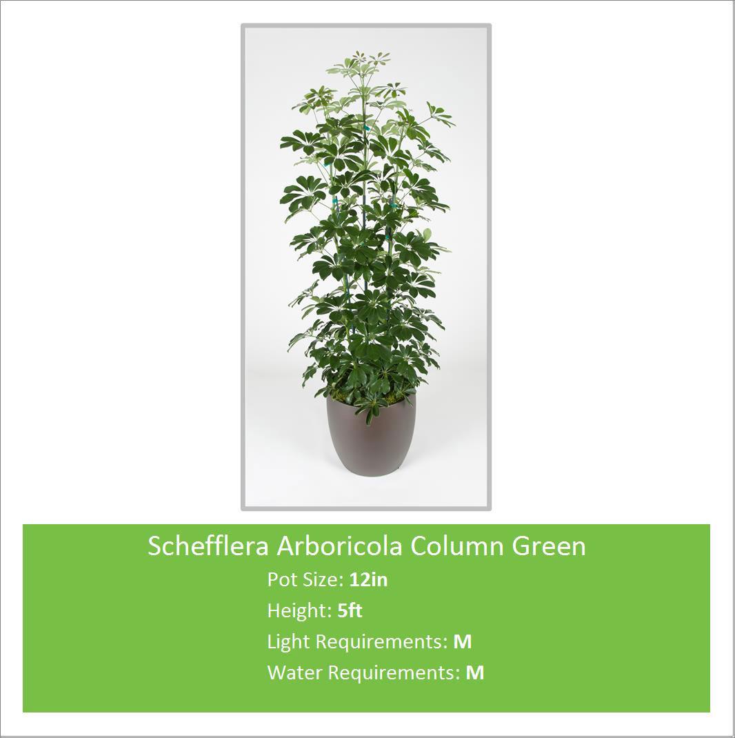 Schefflera_Arboricola_5ft