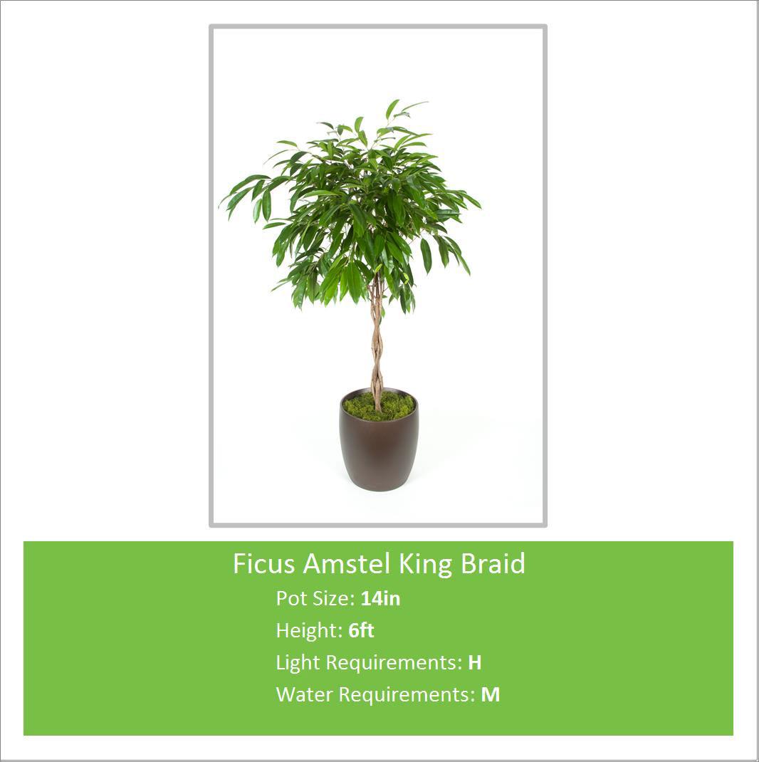 Ficus_Amstel_King_Braid_14i