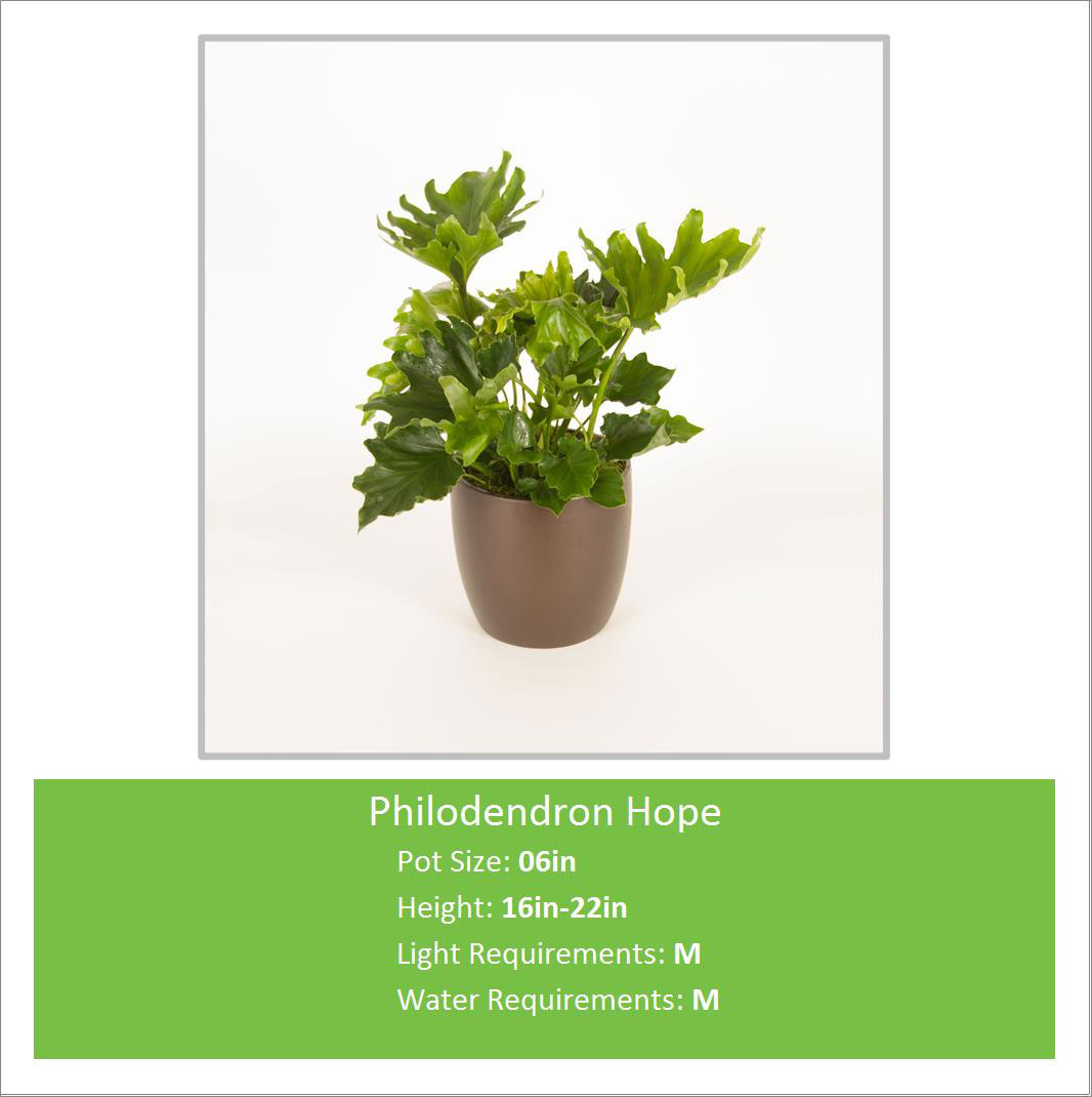 Philodendron_Hope_06inE