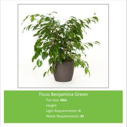 Ficus_Benjamina_Green_06inE