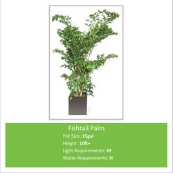 Fishtail_Palm_15galE