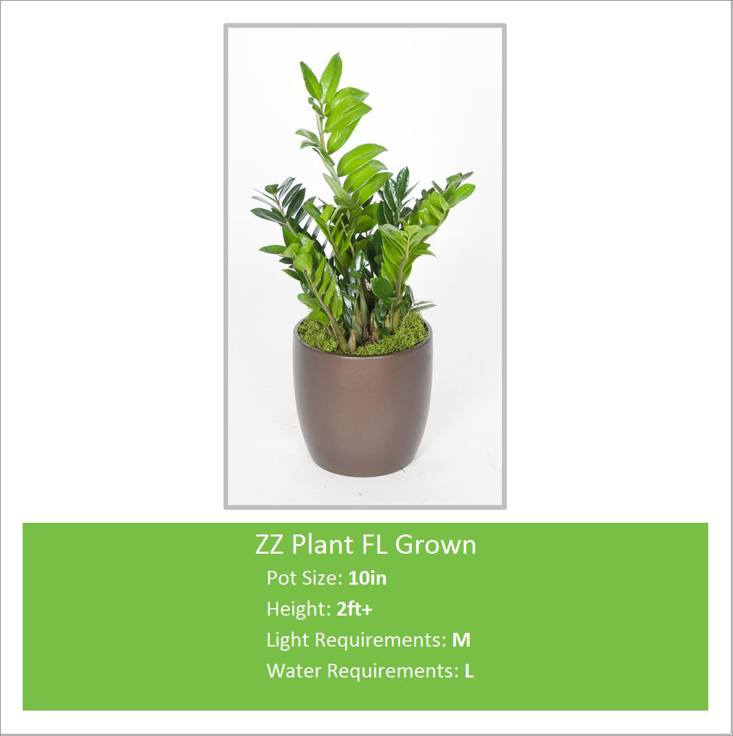 ZZ_Plant_FL_Grown_10inE