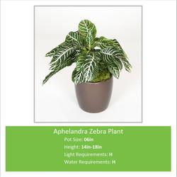 Aphelandra_Zebra_Plant_06in