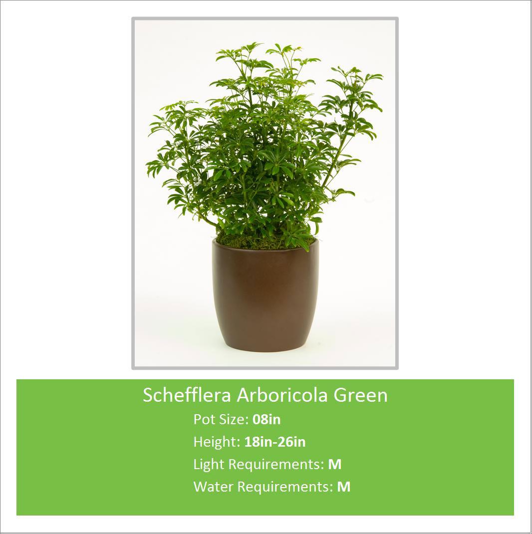 Schefflera_Arboricola_Green