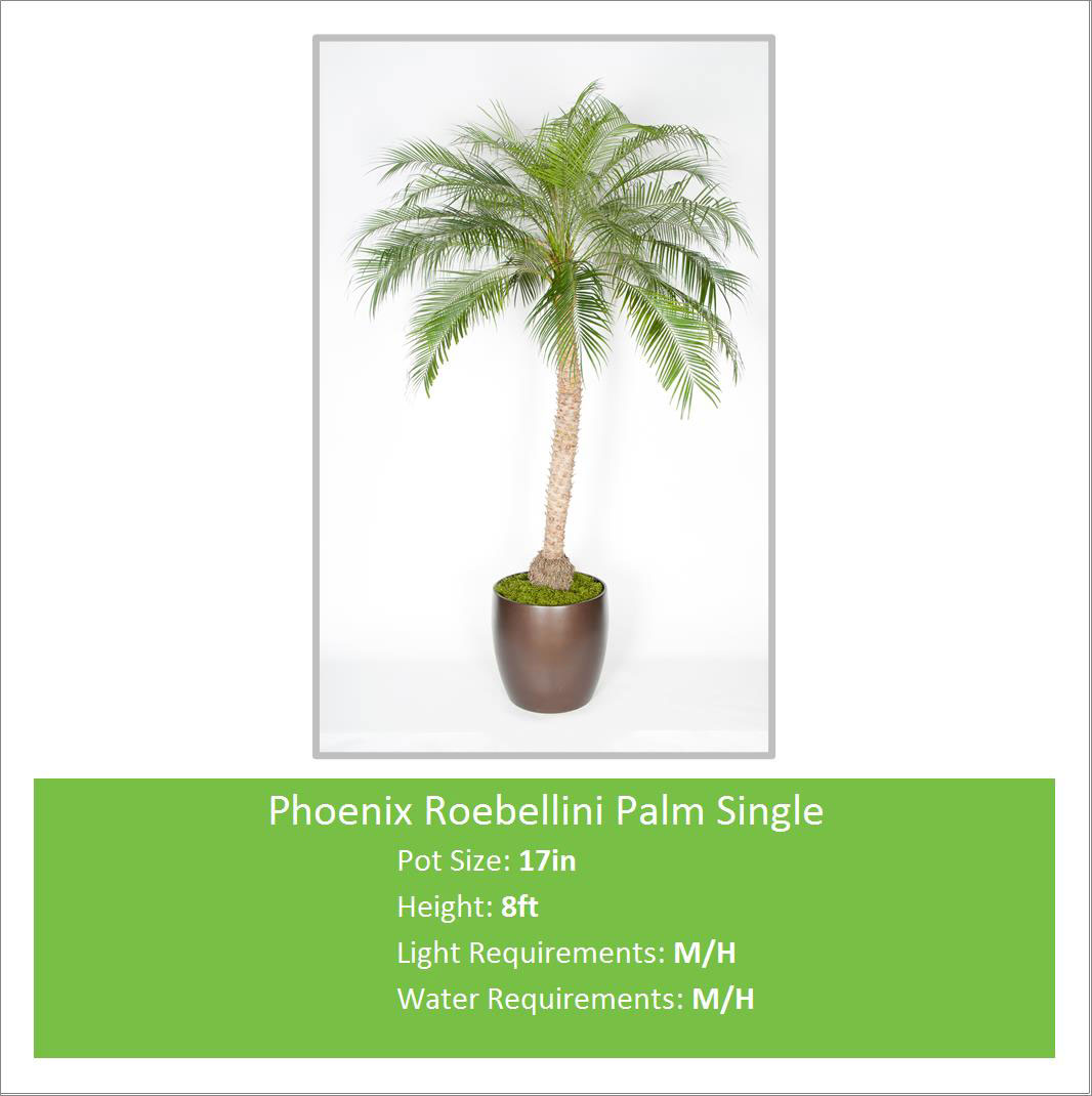 Phoenix_Roebellini_Palm_Sin