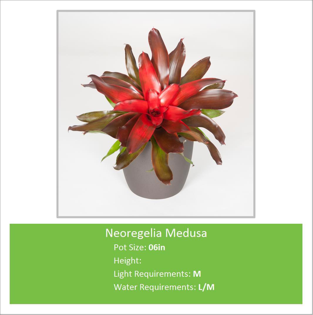 Neoregelia_Medusa_06inE