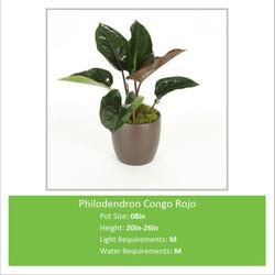 Philodendron_Congo_Rojo_08i