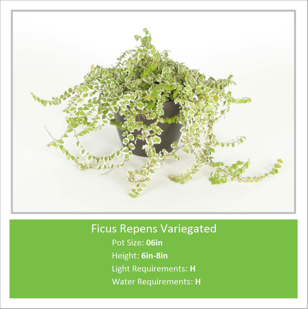 Ficus_Repens_Variegated_06i
