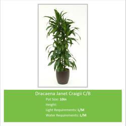 Dracaena_Janet_Craigii_C_B_