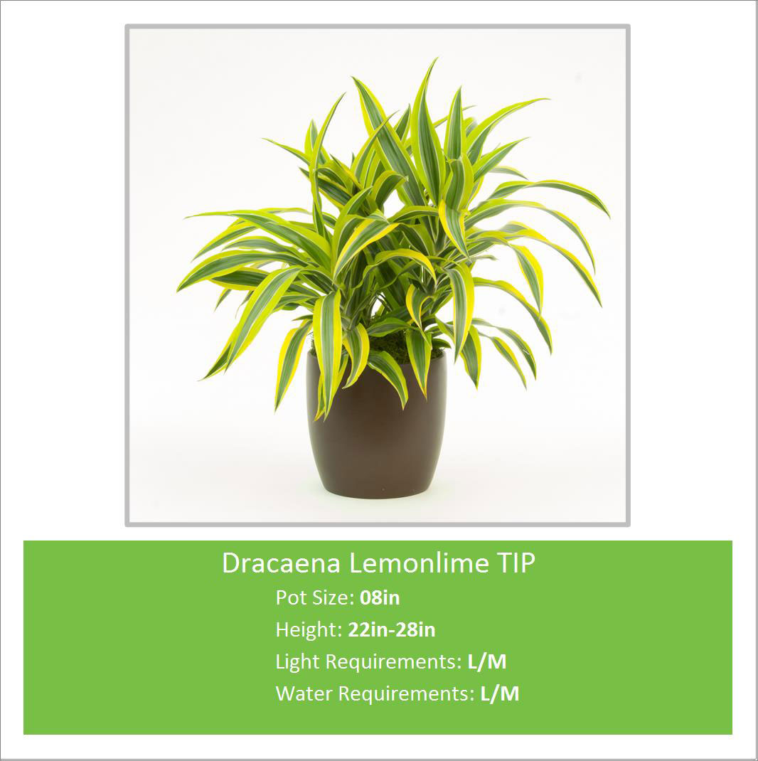 Dracaena_Lemonlime_TIP_08in