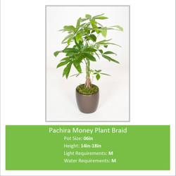 Pachira_Money_Plant_Braid_0