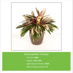 Stromanthe_Triostar_06inE