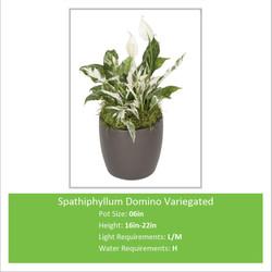 Spathiphyllum_Domino_Varieg