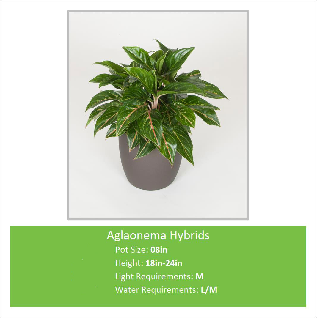 Aglaonema_Hybrids_08inE